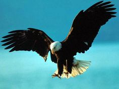 Mount Up With Wings Like Eagles Bald eagle Bird and Bald eagle Eagle Wallpaper, Bird Wallpaper, Animal Wallpaper, Screen Wallpaper, Nature Wallpaper, The Eagles, Wings Like Eagles, Bald Eagles, Eagle Pictures