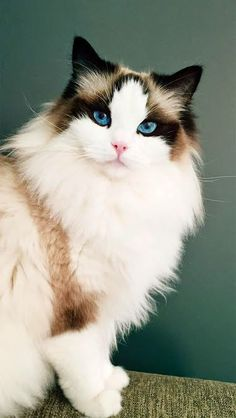 Best Photo fluffy cat breeds Suggestions Kitties with significant head might we. - Best Photo fluffy cat breeds Suggestions Kitties with significant head might well often be probabl - Cute Cat Breeds, Beautiful Cat Breeds, Beautiful Cats, Animals Beautiful, Fluffy Cat Breeds, Ragdoll Kittens, Cute Cats And Kittens, Cool Cats, Fluffy Kittens