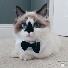 Basically, Albert is the most dapper, adorable munchkin kitty in the world and he is bound to be the newest internet sensation.   Albert Is The Cutest Munchkin Cat You Will Ever See #MunchkinCat