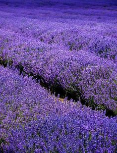 Lavender by Photograferry Lavender Green, Lavender Fields, Lavender Plants, Lavender Cottage, Purple Haze, Shades Of Purple, Purple Flowers, Wild Flowers, Lavenders Blue Dilly Dilly