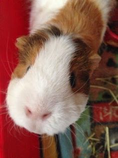 Guinea Pigs' Cavy Club Tips & Pics: Making a Guinea Pig Part of the Family