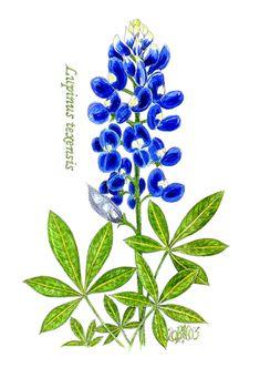 Thistle Drawing | Texas Bluebonnet#1