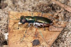 The Stephan's riffle beetle and Tatum Cave beetle disappeared after waiting decades for legal protection