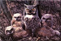 pictures of birds of north america   Birds of North America] Great Horned Owls; DISPLAY FULL IMAGE.