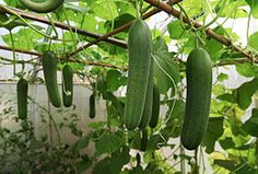How to Grow in a Greenhouse During Winter. Many people assume in the winter months that greenhouse growing is off limits, but this is simply not true. There are certainly ways you can have a blossoming greenhouse even during the winter months. Greenhouse Growing, Greenhouse Gardening, Container Gardening, Greenhouse Ideas, Cheap Greenhouse, Cucumber Plant, Cucumber Trellis, Growing Tomatoes, Organic Gardening