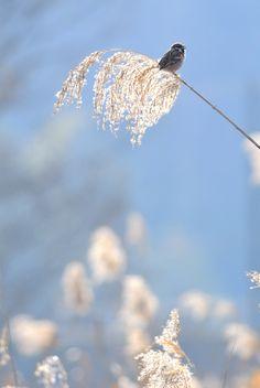 https://flic.kr/p/bfHMtk   On the top   スズメ (雀) 学名 Passer montanus 英名 Tree Sparrow  葦  Reed