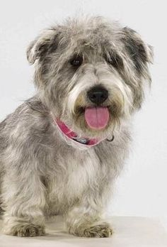 Glen of Imaal Terriers - We met one of these at the last dog show I was at and I fell in love! Of course I did.it's a rare breed! Pitbull Terrier, Irish Terrier, Terrier Mix, Cute Puppies, Dogs And Puppies, Doggies, Unusual Dog Breeds, Glen Of Imaal Terrier, Terrier Breeds