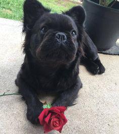 French Bulldog Mix Possibly Skipperkee Or Pomeranian Animals
