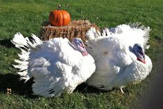 Fresh Turkeys, Raymond's Turkey Farm: At this farm, the turkeys are raised naturally in an open environment with nothing in their feed. The owners bred a type of Broad Breasted White Holland turkey that has more white meat.
