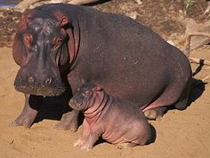 Hippopotamus - Big Mouth River Horse | Animal Pictures and Facts | FactZoo.com