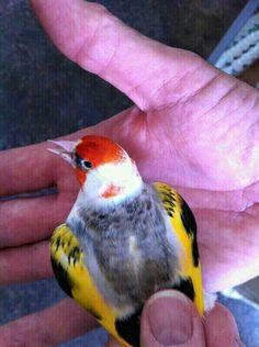 woooow c'est quoi cette beauté Top Mulet   Chardonneret B.K   Aves, Pájaros hermosos