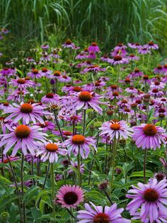 """Echinacea purpurea (purple coneflower); Native Perennial; Ht: 18""""-24"""" Color: Purple Light: Sun- Part Sun; Spread: 3'-4' Bloom Period: Summer Soil: Well Drained; A stout-stemmed native perennial with large daisy-like flowers of rich mauve-crimson. Attracts Butterflies."""