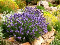 "Dwarf lavender: Lavandula angustifolia 'Thumbelina Leigh, 12"" high x 12-15"" spread. Hearty to zone 5."