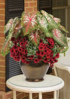 'Ring Around The Rosy' bring a tropical flair to an otherwise ordinary patio container! Best in full to part sun.