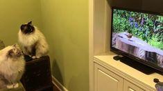 "Ragdoll Cats Charlie and Trigg Watch TV on Samsung Smart TV 27""  - ねこ - ラグドール - Floppycats https://youtu.be/7s67nDKdii0  Samsung Smart TV 27""  http://amzn.to/2DobBB6 Cat Video DVD"