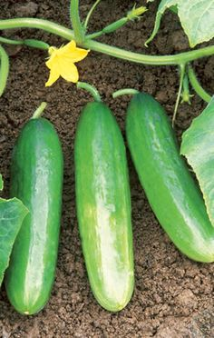 Facts about cucumbers you probably didn't know.