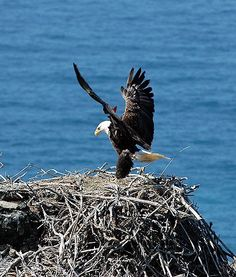 A bald eagle known as K01 gets ready for a landing on its nest near Avalon on Catalina Island, off the coast of Southern California. The Pet Collective, a YouTube channel, has a camera on K01, which gives viewers spectacular footage of    the 13-year-old male eagle. How very cool