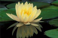yellow lotus in Amazon Jungle