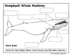 Humpback Whale Printout with interesting facts about