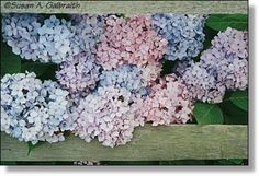 Hydrangeas quasi-framed by rough wooden crates: living vs. dead, round vs. rectangular, colorful and light absorbing-growing vs. sunbleached.