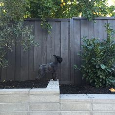 dark stained fence, Cabot Solid Wood Stain in Burnt Hickory - Modern Design Staining Wood Fence, Painted Wood Fence, Fence Stain, Wood Stain, Wood Fence Design, Pallet Fence, Grey Fences, Black Fence, White Fence
