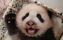 ハイハイでにっこり、パンダの赤ちゃん 台湾