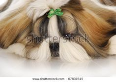 adorable shih tzu puppy with green bow - head portrait Baby Shih Tzu, Shih Tzu Puppy, Shih Tzus, Yorkie, Puppies For Sale, Cute Puppies, Puppy Clothes, Bad Hair Day, Kittens Cutest