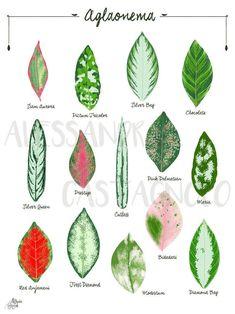 Garden Plants, Indoor Plants, Chinese Evergreen Plant, Leaf Identification, Pot Jardin, Decoration Plante, Plant Illustration, Tropical Leaves, Houseplants