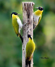 Black-headed Woodpeckers (Picus erythropygius) found in Cambodia, Laos, Myanmar, Thailand Bird Pictures, Pretty Birds, Bird Houses, Parrot, Thailand, Wildlife, Woodpeckers, Animals, Black