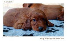 Irish Setter Pup ~ Classic Look