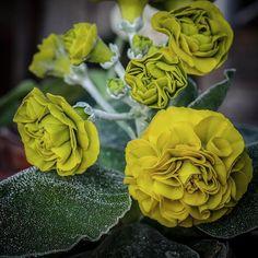 Primula Auricula, Bitter Lemon, Garden Plants, Instagram, Rose, Flowers, Gardens, Hothouse, Spot Lights