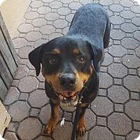Adopt A Pet :: Ariscia (A) - New York, NY