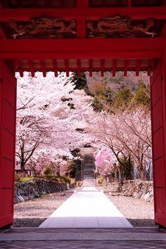 Cherry Trees in Takashima, Shiga, Japan