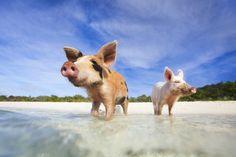 Snorkeling pigs
