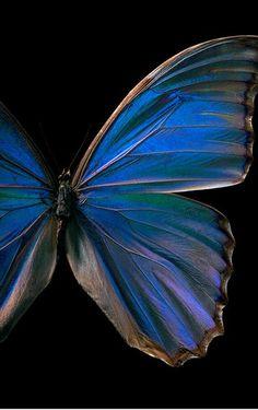My favorite type of butterfly - beautiful!