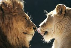 I love to see the love of a lion and lioness so beautiful