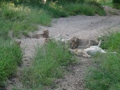 Lion playing and resting in the Bush - Londolozi Lodge Game Reserve - South Africa