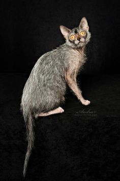 cats lykoi more crazy cats pet 10 cats werewolf cats cat lykoi ... #catmeow - Catsincare.com!