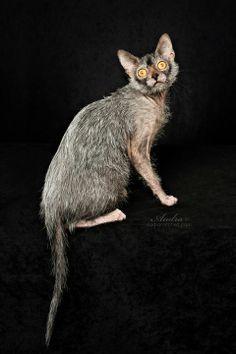 cats lykoi more crazy cats pet 10 cats werewolf cats cat lykoi ... #catmeow - Catsincare.com!