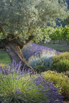 Lavender and Olive tree in the French garden, Midi-Pyrenees, France. The Secret Garden, Garden Cottage, Plantation, Dream Garden, Garden Inspiration, Beautiful Gardens, Grape Vines, Landscape Design, Landscape Plans