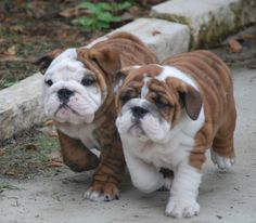 """Walking on the wild side for them! #dogs #pets #EnglishBulldogs…"