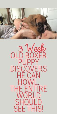 3 Week Old Boxer Puppy Discovers He Can Howl! The Entire World Should See This!