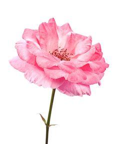 Rose Absolute - Rosa damascena