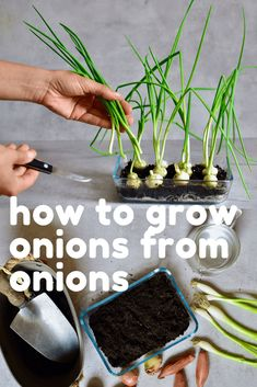A super simple How-To for growing spring onions at home from food scraps, to re-use numerous times! Two methods that can both be done indoors, with little space and mess and no onion seeds necessary! Garden Seeds, Planting Seeds, Growing Spring Onions, Types Of Onions, Peach Trees, Grow Your Own Food, Edible Flowers, Delicious Vegan Recipes, Fruit Trees