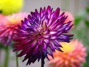 Wedding flowers deep purple dahlias