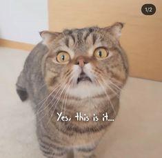 Cats, Animals, Cream, Creme Caramel, Gatos, Animales, Animaux, Animal, Cat
