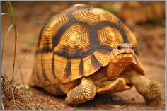 A Ploughshare Tortoise - highly endangered.