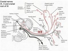 salivatory nucleus - Google Search