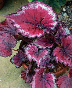 stained glass begonia