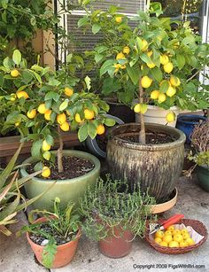 The Meyer lemon tree...a commonly grown dwarf variety.